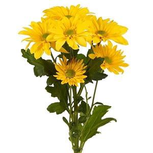 Huile essentielle Chrysanthème