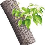 huile essentielle bois de hô
