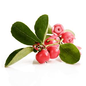 Huile essentielle Thé des Bois