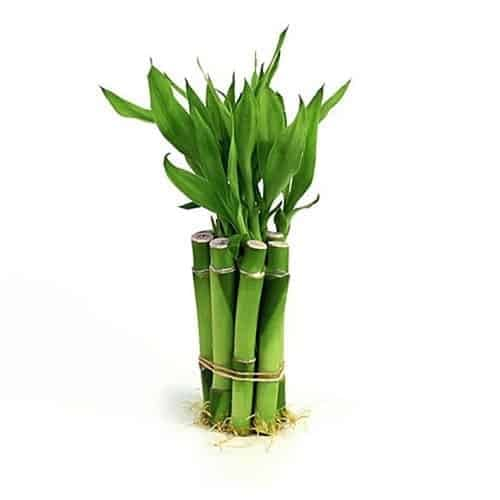 Huile Essentielle Bambou