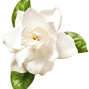 Huile essentielle de Gardenia
